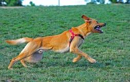Cane sull'esecuzione che scopre i suoi denti Fotografia Stock Libera da Diritti