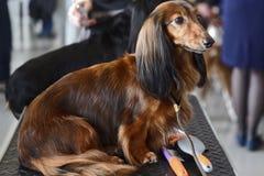 Cane sull'esposizione canina fotografia stock