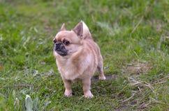 Cane sulla camminata Fotografia Stock