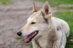 Cane sulla camminata Fotografie Stock Libere da Diritti