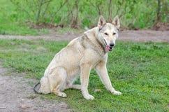Cane sulla camminata Immagini Stock