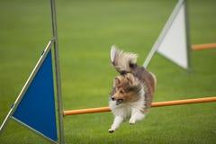 Cane sulla concorrenza di agilità immagine stock