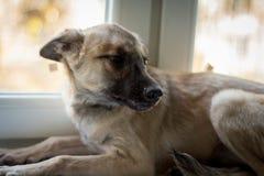 Cane sulla finestra Immagini Stock