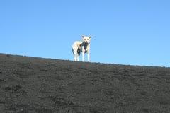 Cane sulla parte superiore del vulcano dell'Etna Fotografia Stock Libera da Diritti