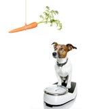 Cane sulla scala, con sovrappeso Fotografia Stock