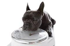 Cane sulla scala, con sovrappeso Fotografia Stock Libera da Diritti