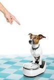Cane sulla scala, con sovrappeso e colpevolezza Fotografia Stock Libera da Diritti