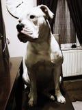 Cane sulla sedia Immagini Stock