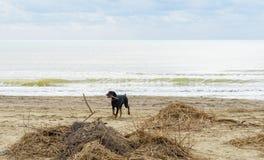 Cane sulla spiaggia Immagini Stock Libere da Diritti