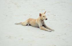 Cane sulla spiaggia in Tailandia Immagine Stock