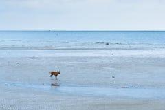 Cane sulla spiaggia thailand immagini stock libere da diritti