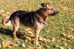 Cane sulle foglie di acero gialle Fotografia Stock Libera da Diritti