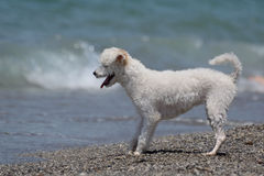 Cane sveglio bianco sulla spiaggia fotografia stock