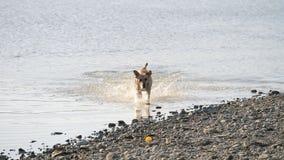 Cane sveglio che corre nel lago Un cane bagnato stock footage