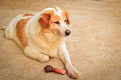 Cane sveglio che mangia osso Fotografie Stock Libere da Diritti