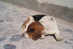 Cane sveglio che riposa, valle di Colca, Perù fotografia stock