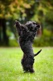 Cane sveglio che si leva in piedi sui suoi piedini posteriori Fotografie Stock Libere da Diritti