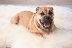 Cane sveglio che si trova sul tappeto sfocato leggero fotografie stock libere da diritti
