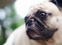 Cane sveglio del carlino Immagini Stock