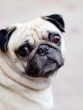 Cane sveglio del carlino Fotografia Stock Libera da Diritti