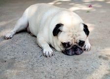 Cane sveglio del carlino Fotografie Stock