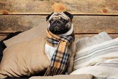 Cane sveglio del carlino in sciarpa a quadretti che si siede sui cuscini Immagine Stock