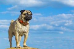 Cane sveglio del carlino sul fondo del cielo Immagini Stock Libere da Diritti