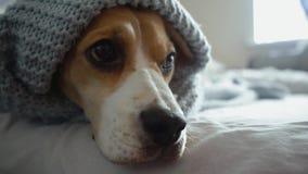 Cane sveglio del cane da lepre con gli occhi tristi che si trovano sotto una coperta blu sul letto, lampeggianti e preparantesi p video d archivio