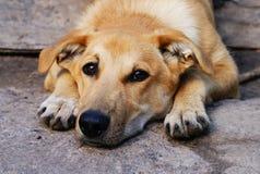 Cane sveglio del fronte Fotografie Stock