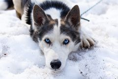 Cane sveglio del husky che fa un'escursione intorno alla montagna immagine stock