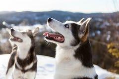 Cane sveglio del husky che fa un'escursione intorno alla montagna fotografie stock