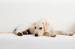 Cane sveglio del labrador Immagine Stock Libera da Diritti