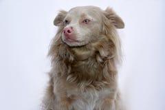 Cane sveglio dell'incrocio Fotografia Stock Libera da Diritti