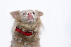 Cane sveglio dell'incrocio Fotografie Stock Libere da Diritti
