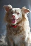 Cane sveglio dell'incrocio Fotografie Stock