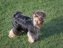Cane sveglio dell'Yorkshire terrier in vento Immagini Stock Libere da Diritti