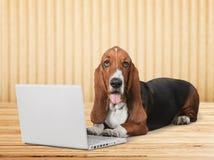 Cane sveglio di Basset Hound con il computer portatile immagini stock libere da diritti