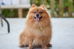 Cane sveglio di Pomeranian Immagine Stock