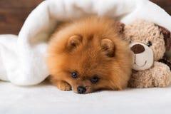 Cane sveglio di Pomeranian Migliori amici Un cane riparato in una coperta immagine stock libera da diritti