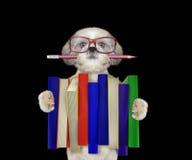 Cane sveglio di shitzu che tiene una grande pila di libri -- isolato sul nero Immagine Stock