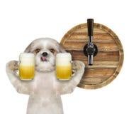 Cane sveglio di shitzu con un vetro di birra e del barilotto Isolato su bianco fotografie stock