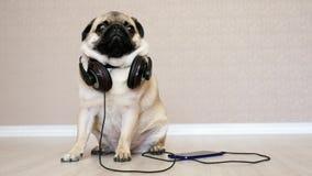 Cane sveglio e divertente nella musica d'ascolto delle cuffie, cane di rilassamento del carlino video d archivio