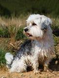 Cane sveglio e piccolo del terrier che si siede fuori Fotografia Stock