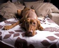 Cane sveglio faticoso. fotografia stock