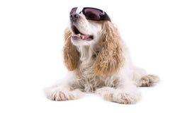 Cane sveglio su una priorità bassa bianca Immagine Stock Libera da Diritti