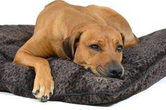 Cane sveglio sul suo letto Fotografia Stock