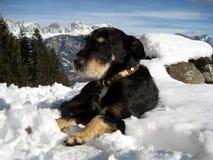 Cane svizzero dolce che risiede nella neve su nelle montagne Fotografia Stock