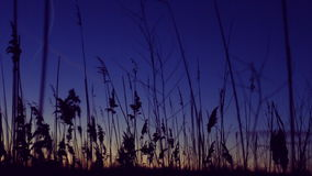 Cane sways in the breeze. stock video footage