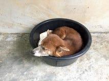 Cane tailandese che dorme in bacino di plastica nero Fotografia Stock Libera da Diritti