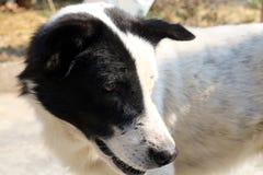 Cane tailandese con i colori in bianco e nero bianco del cane nero Fotografia Stock Libera da Diritti